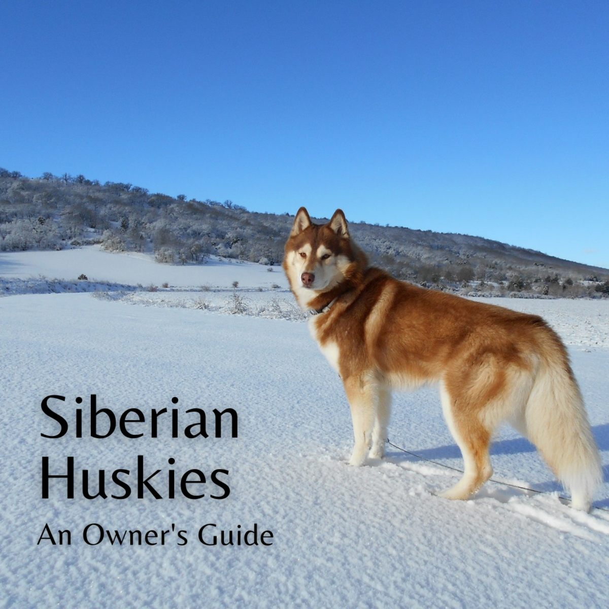 This guide will provide a breakdown of what's it's like to own a Siberian Husky.