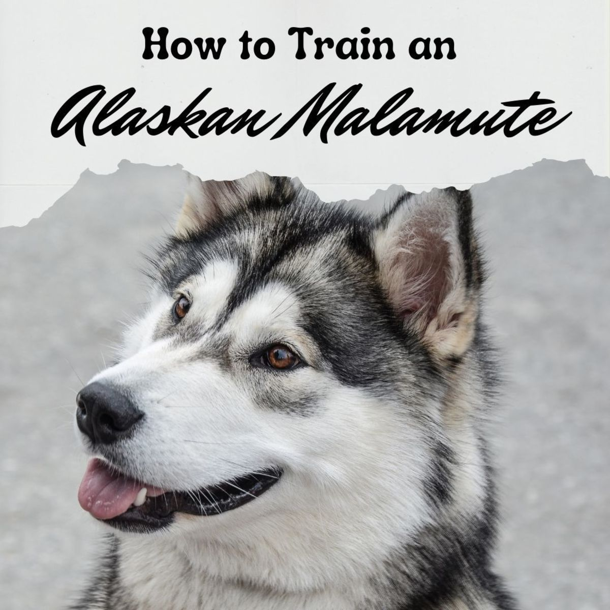 A guide to training Alaskan Malamutes