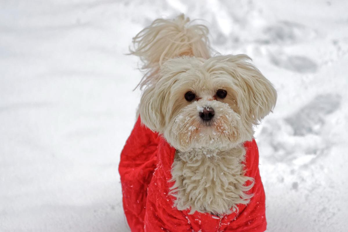 Bichon in the snow