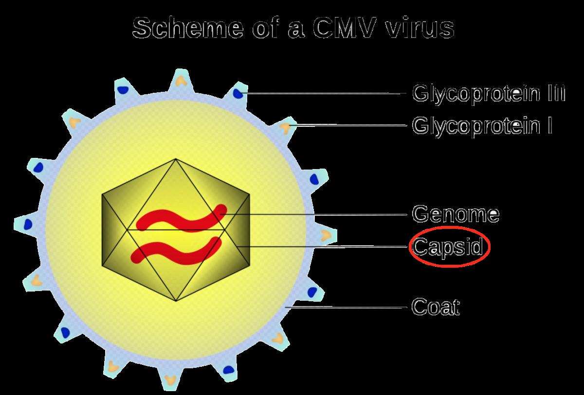 Cytomegalovirus is a genus of viruses. Order:  Herpesvirales_ Family:  Herpesviridae  Subfamily:  Betaherpesvirinae_ Natural hosts:  Humans and monkeys_ Species in genus:  Eight_   Human betaherpesvirus 5:  Infects humans