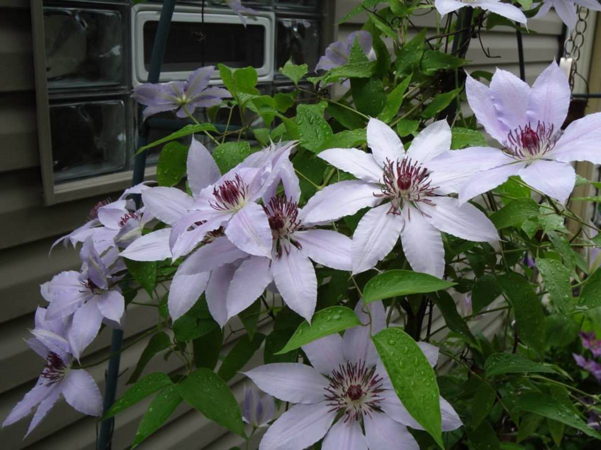 Clematis on an arbor near my garage