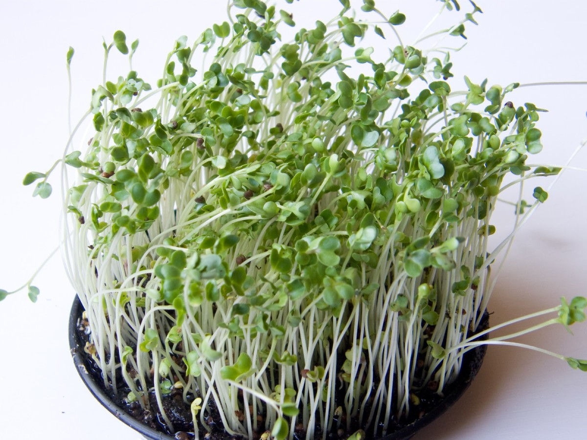 Broccoli sprouts are an excellent source of antioxidants.