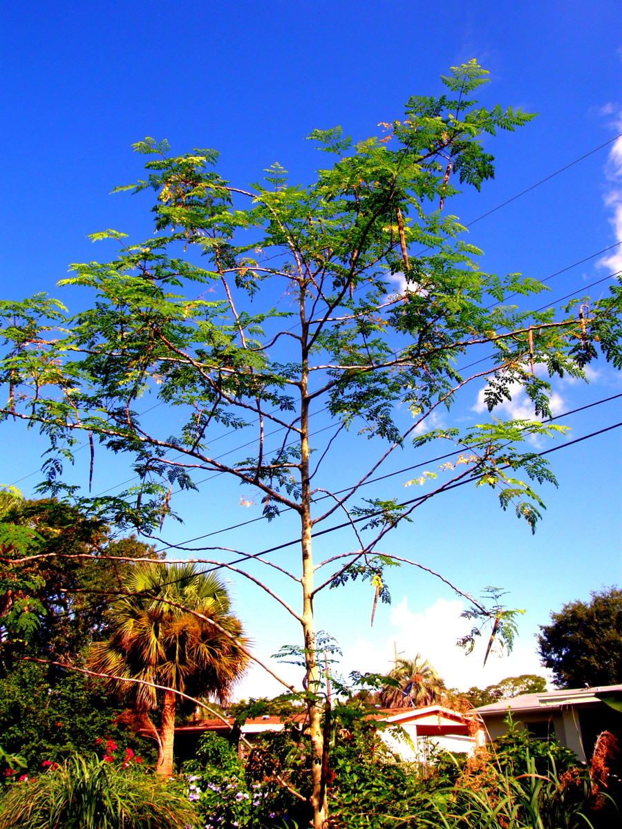 This Moringa tree was planted about 3 years ago.  There are power lines behind it, but they are not as close as they look in the photograph.