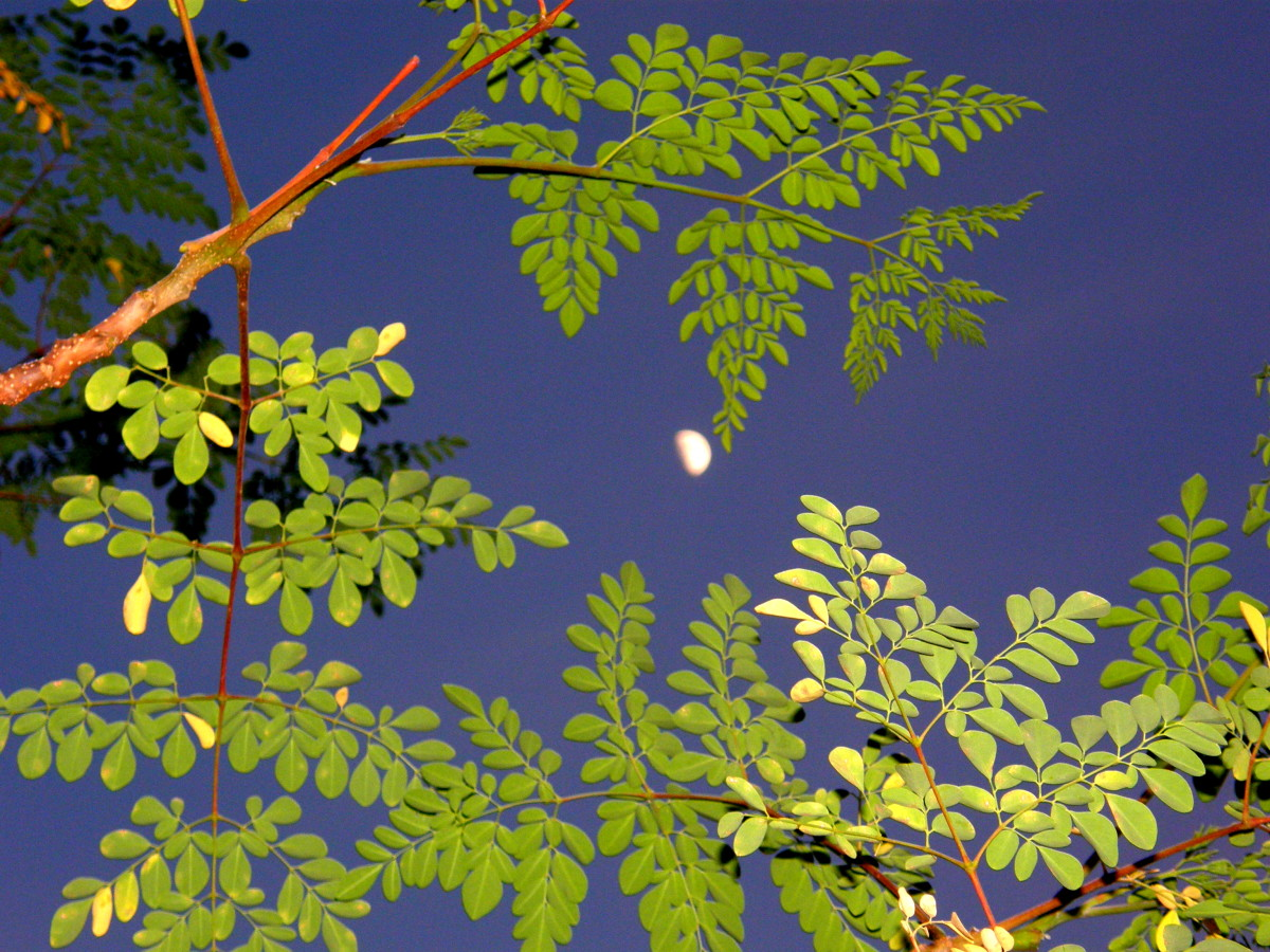 The moon framed by Moringa leaves