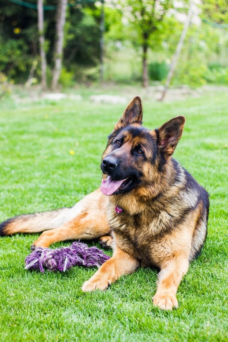 prescription-dog-food-for-german-shepherds