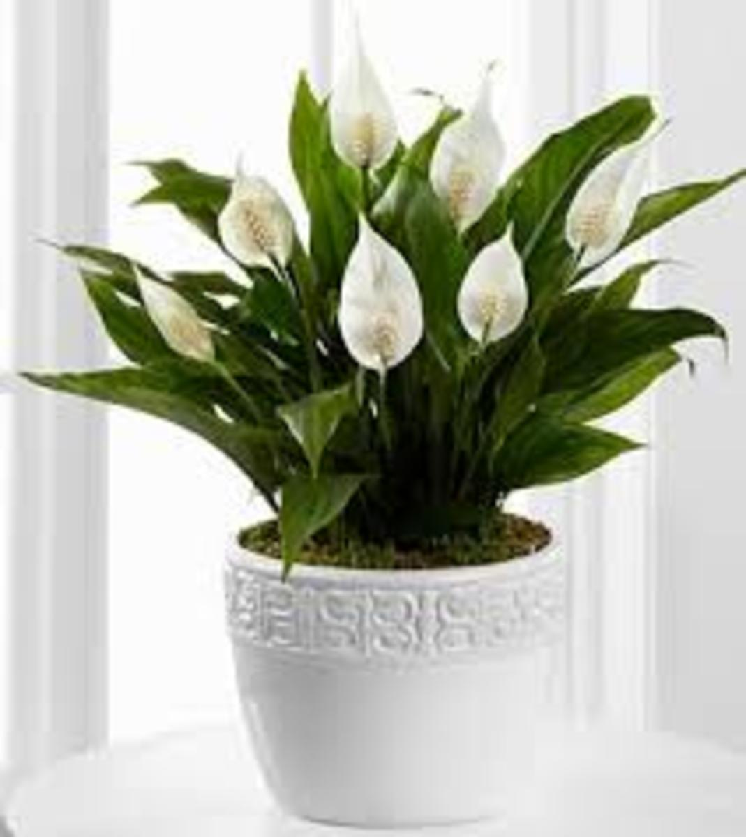 A Peace lily showing off
