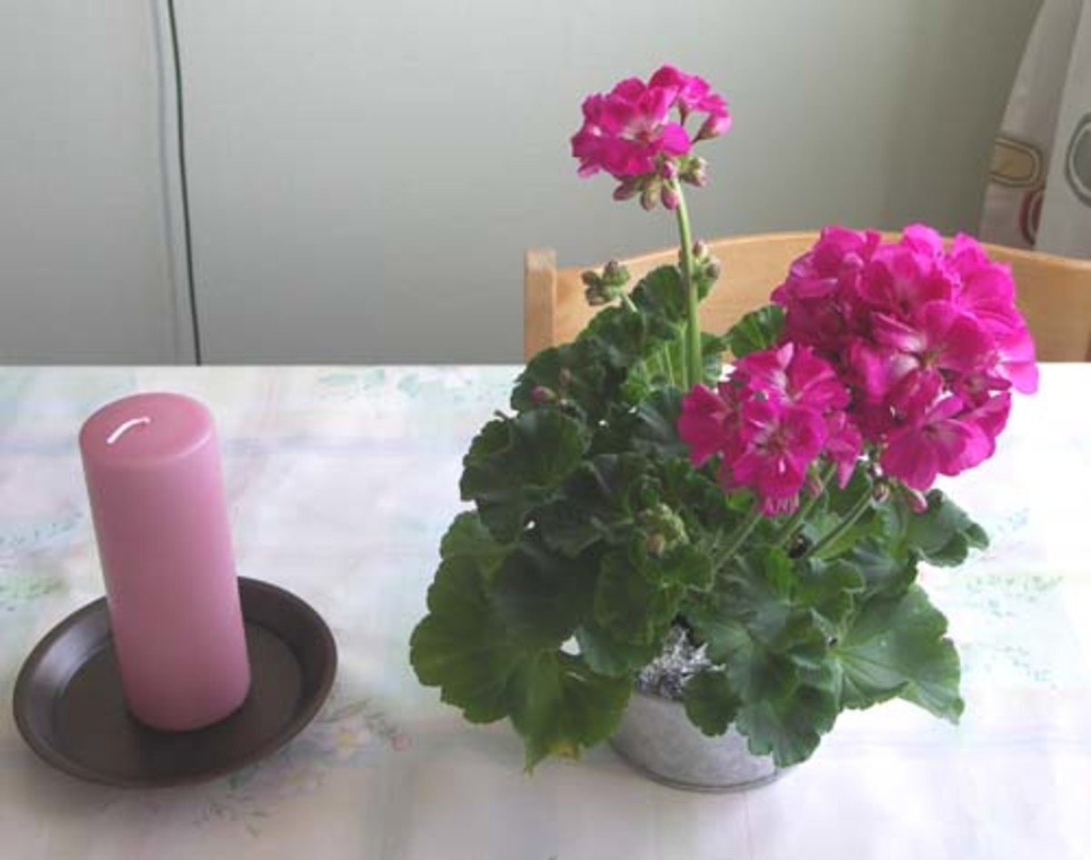 A Pelargonium brightens up any kitchen table.