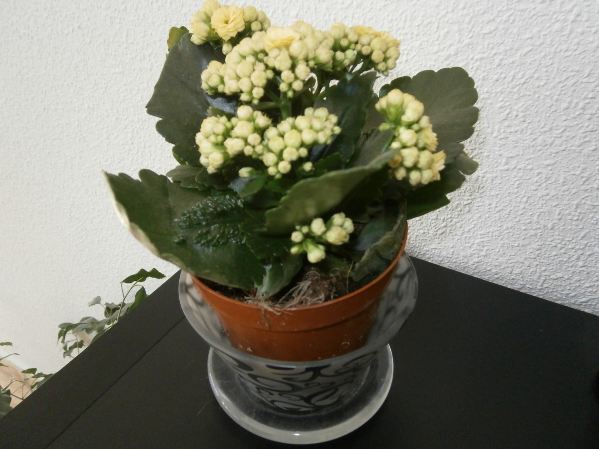 Kalanchoe is a really easy low maintenance house plant