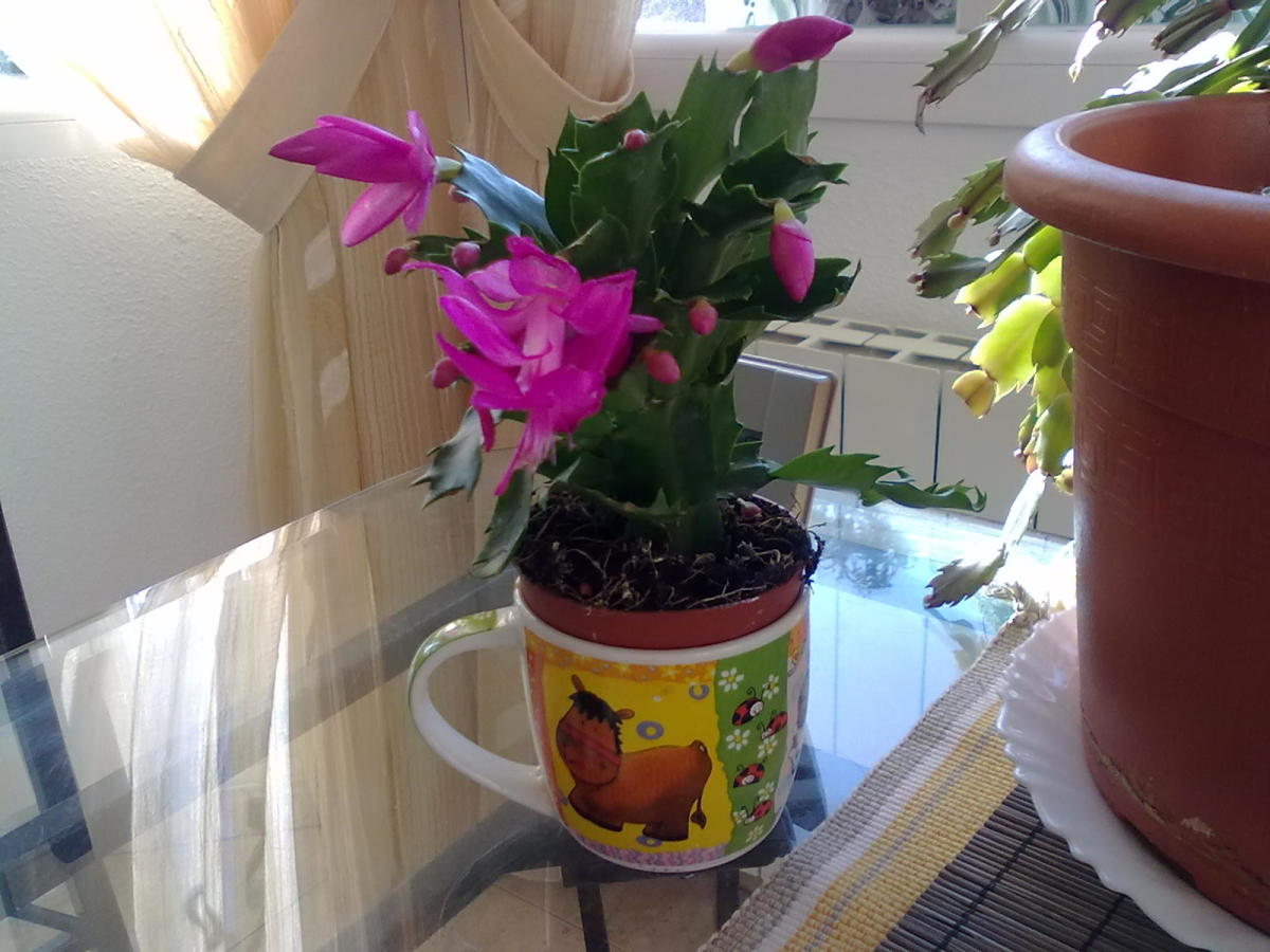 Christmas cactus is a good choice for sustainable indoor gardening