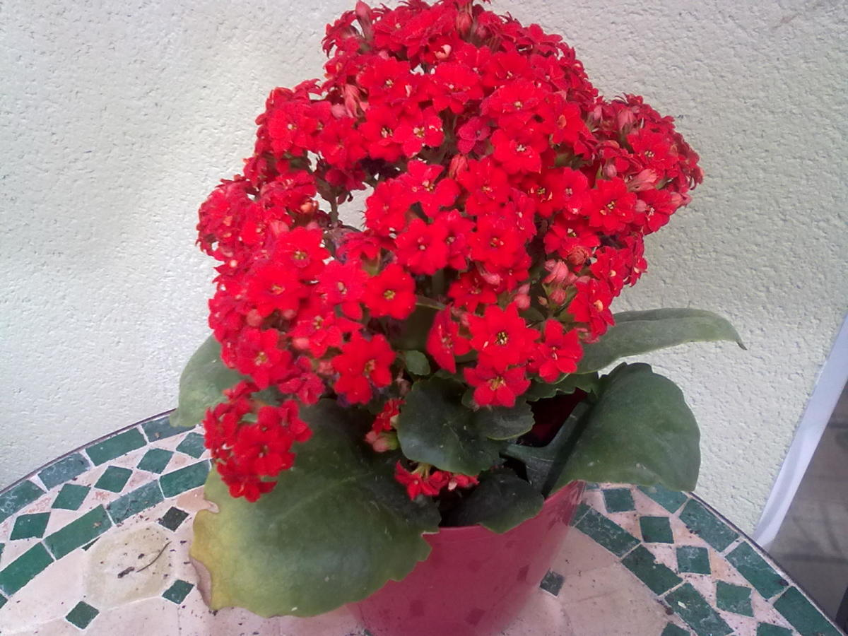 Kalanchoe is becoming a popular Christmas plant