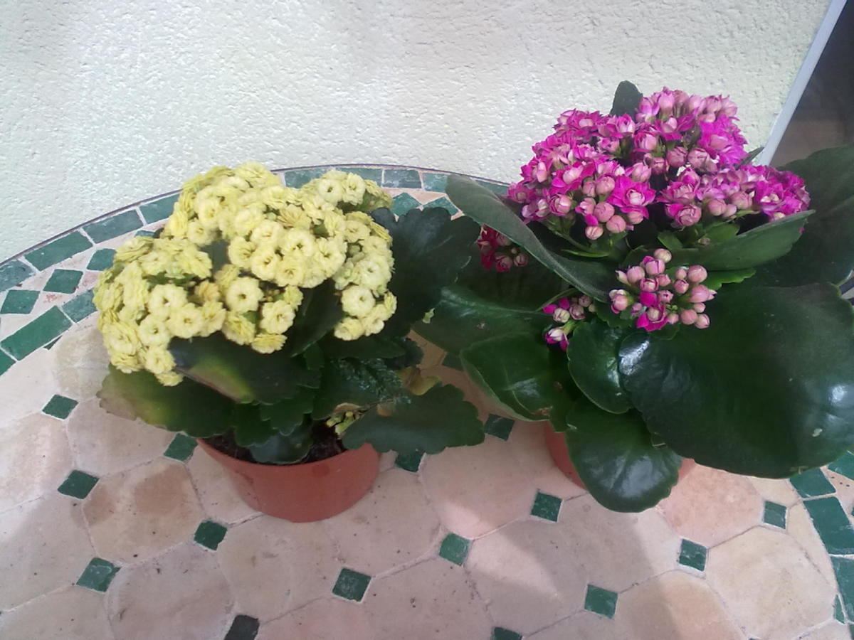 Kalanchoe come in many color choices