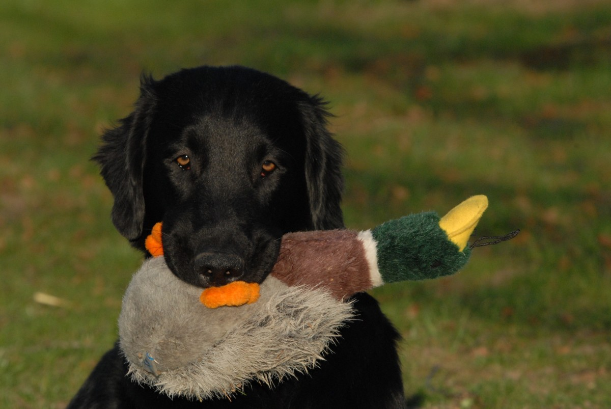 Dogs may become obsessive over their toys when experiencing a phantom pregnancy