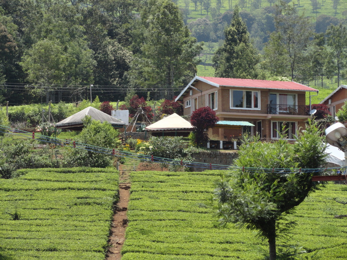 Tea plantations, Ooty