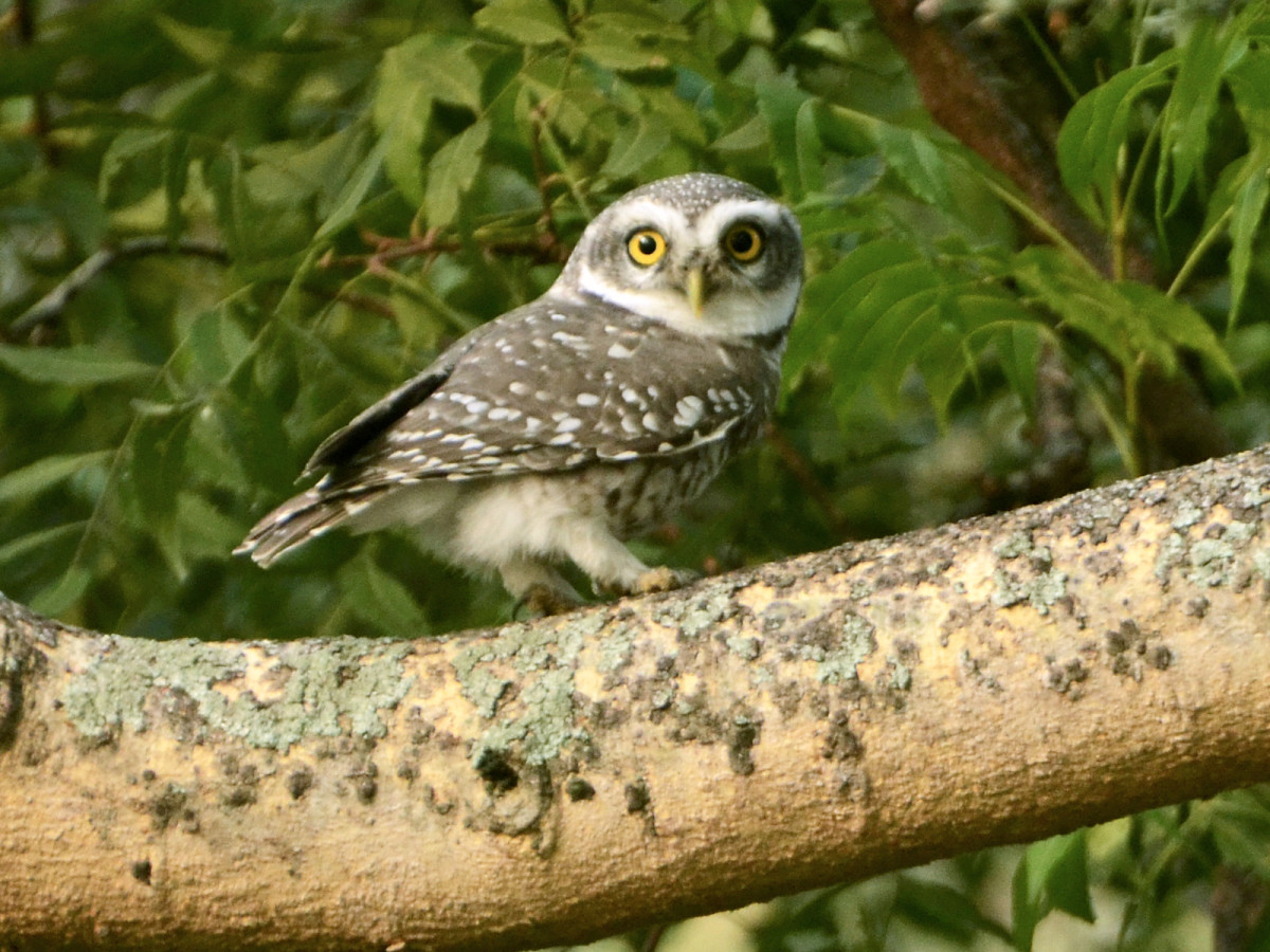 Spotted Owlet at TNAU gardens