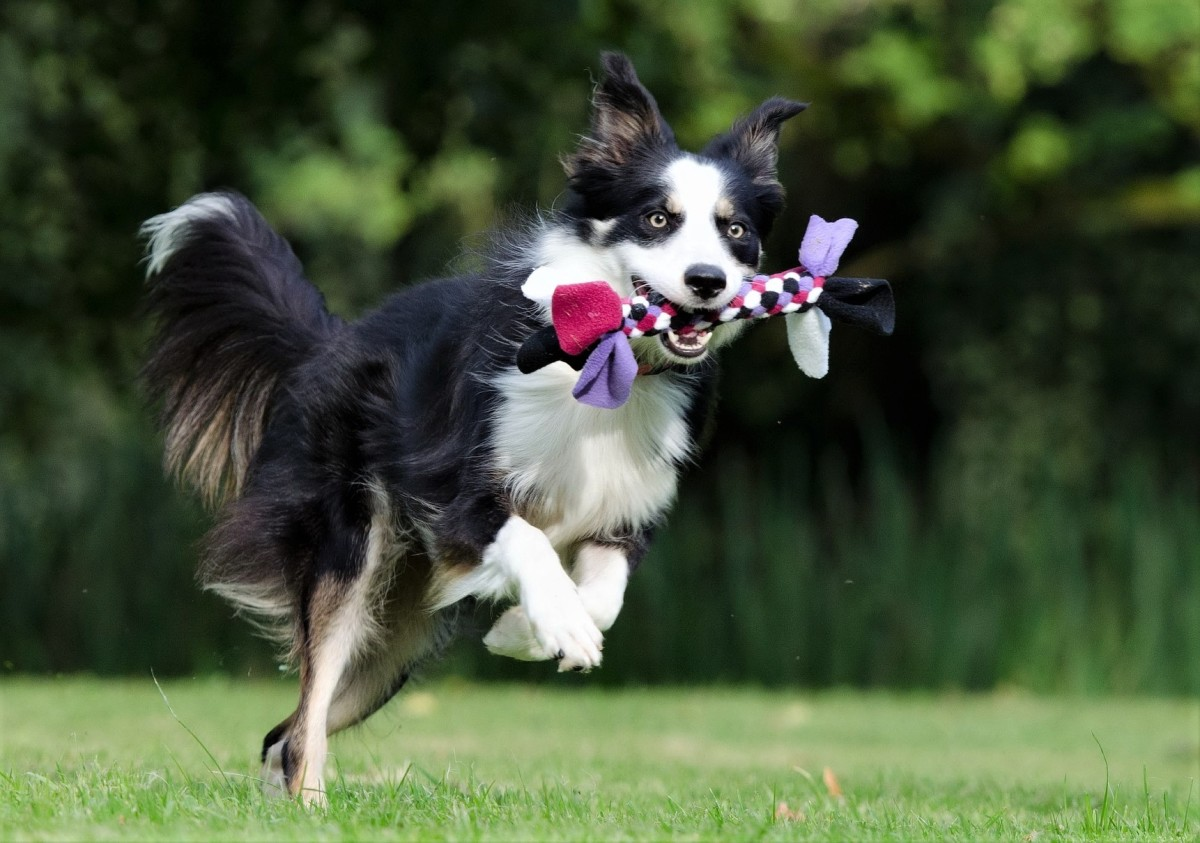 It is essential to keep the dog occupied with behavioral training sessions, or agility training.