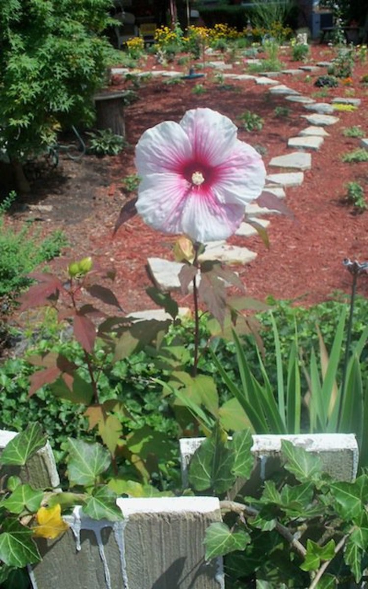 beautiful hibiscus just bloomed in raised back garden