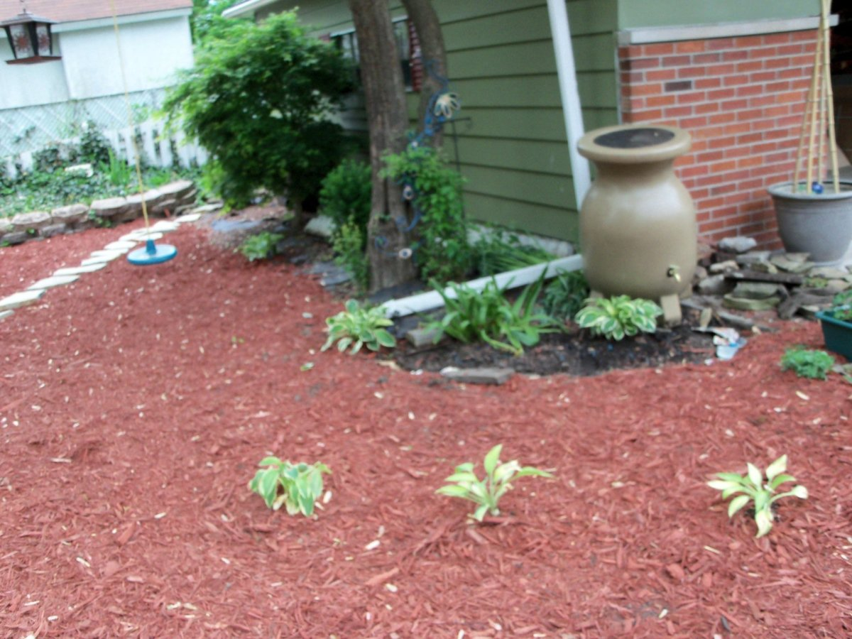 began planting the hostas in the shady area under my tree