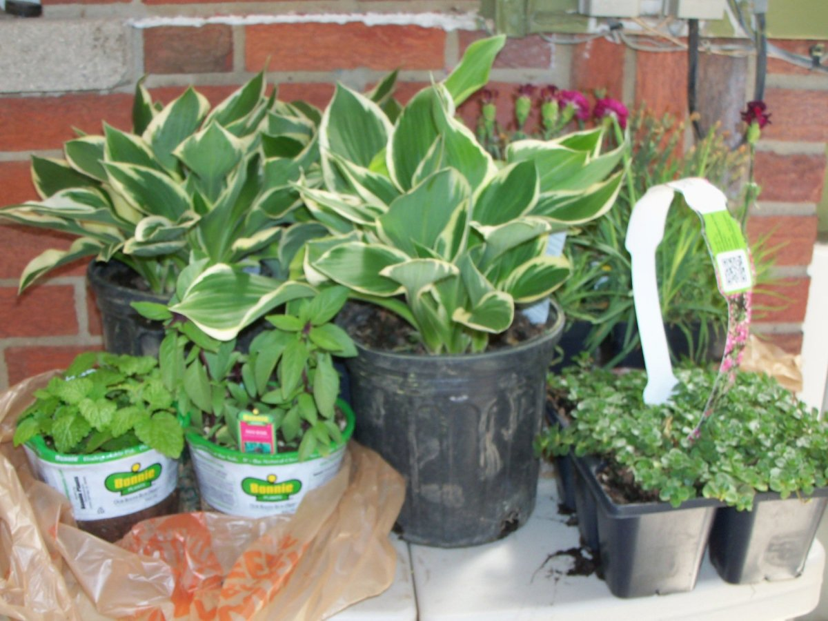 some of the perennials purchased and waiting to be planted