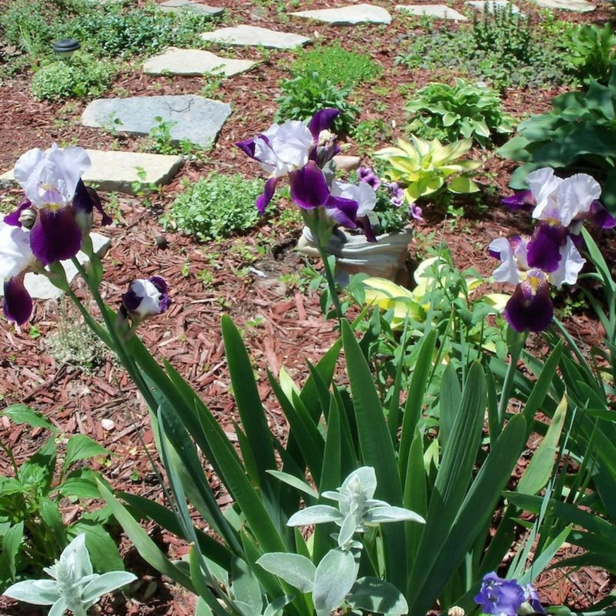 These gorgeous purple irises were one of the first blooms of this spring