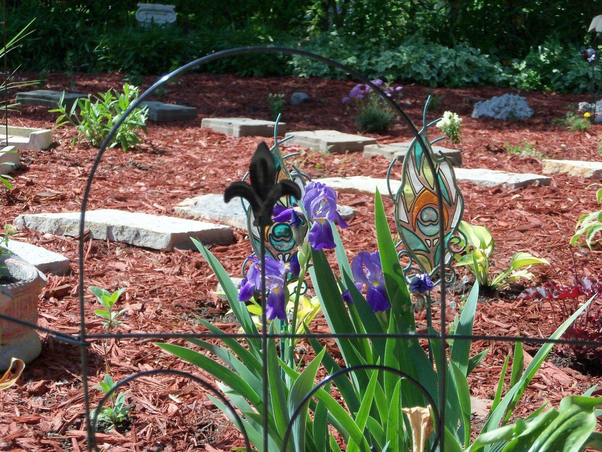 irises in bloom