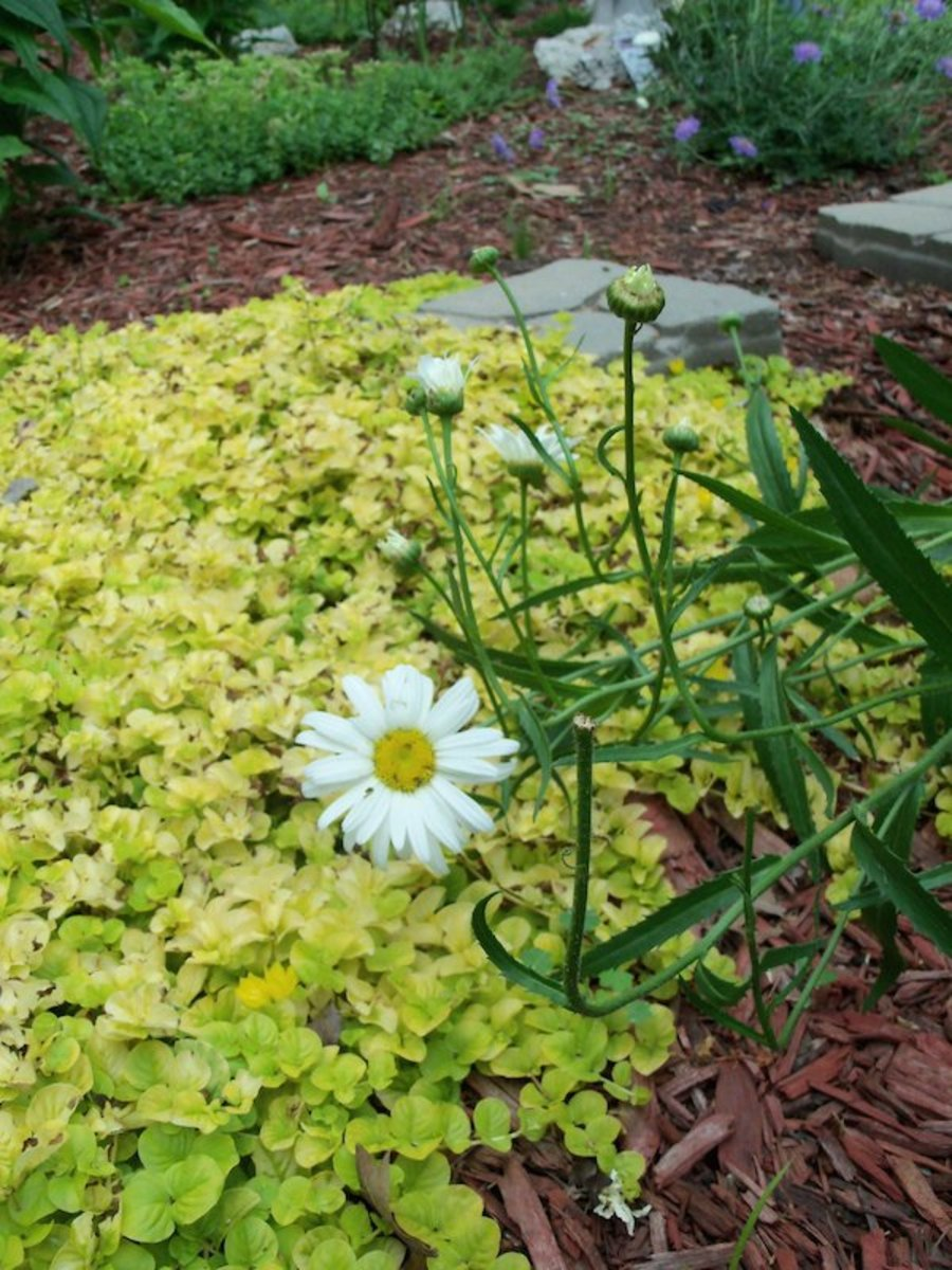 Shasta daisies  with bright yellow Japanese stonecrop in the background
