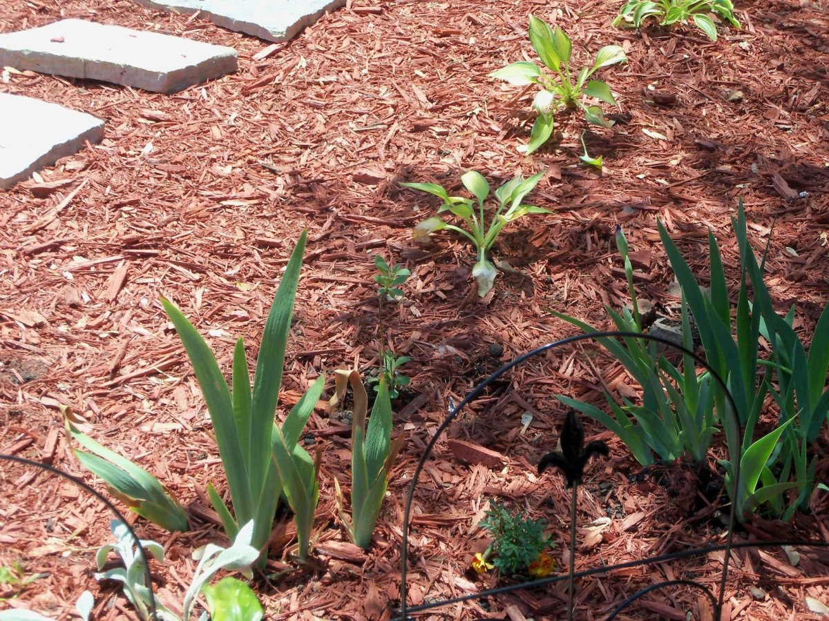 yellowish hostas (purchased) and irises also given to me by a friend