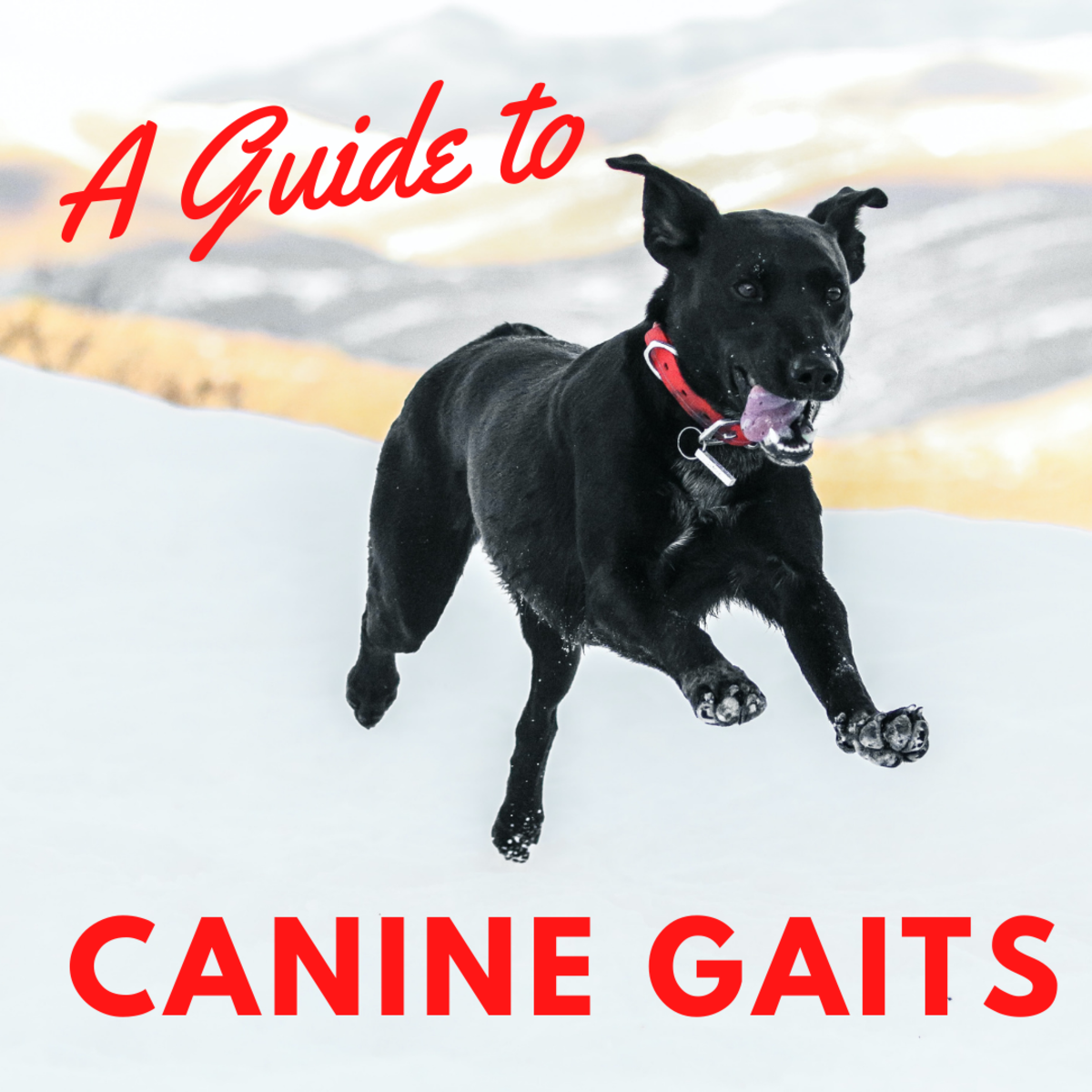 Learn all about how dogs walk, amble, gallop and more.