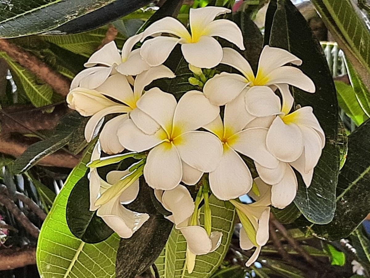 Frangipani flower or Plumeria