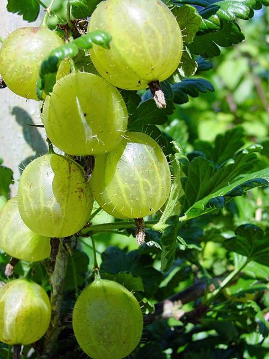 How to Plant and Grow Gooseberries