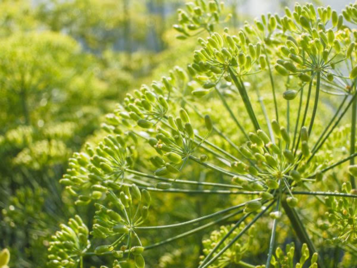 Fennel herb can be grown in pots, if you have a small space