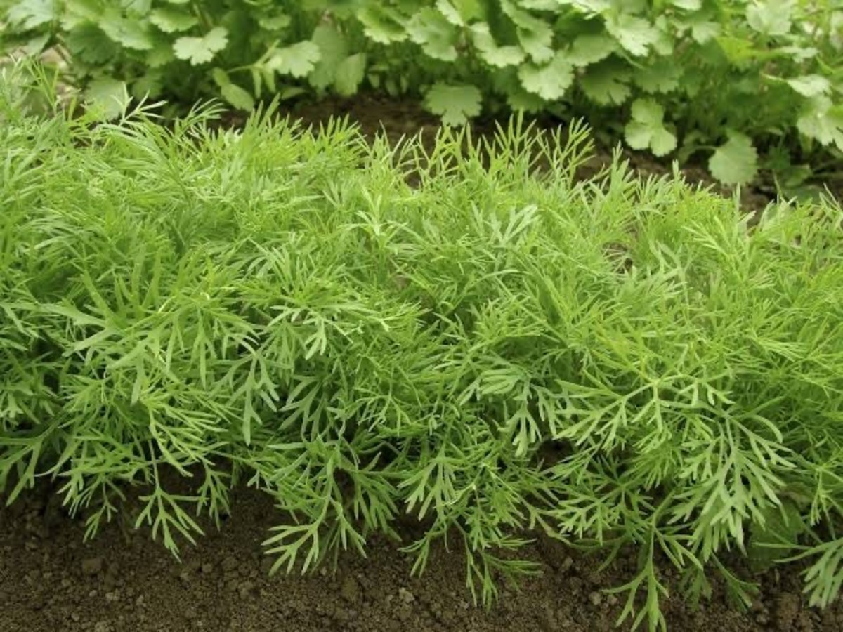 Sowa or Dill herb can be grown in clay pots, if you have a small space
