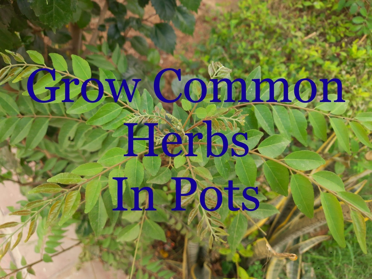 7 Common Edible Herbs to Grow in Pots, in Small Spaces