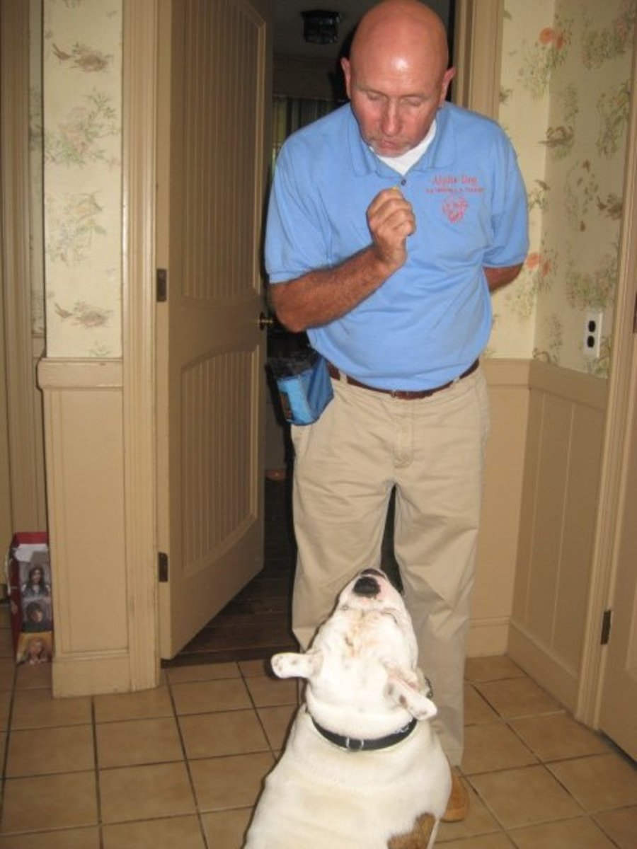 "Alpha Dog Training for Bruno with Earl Preeper Instead of getting upset with Bruno when he tries to jump on someone or play bite, we just get him to do his ""tricks"" to get treats and it reminds him who is in charge."
