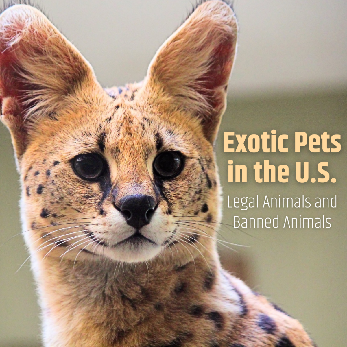 Regulations for exotic pets, such as this serval, vary from state to state.
