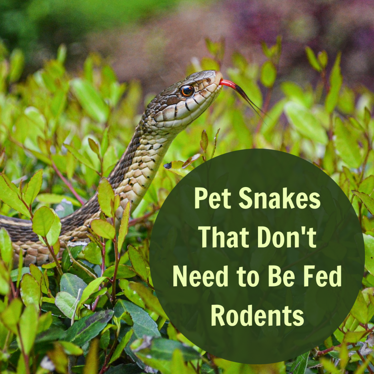 Pet Snakes That You Don't Need to Feed Rodents
