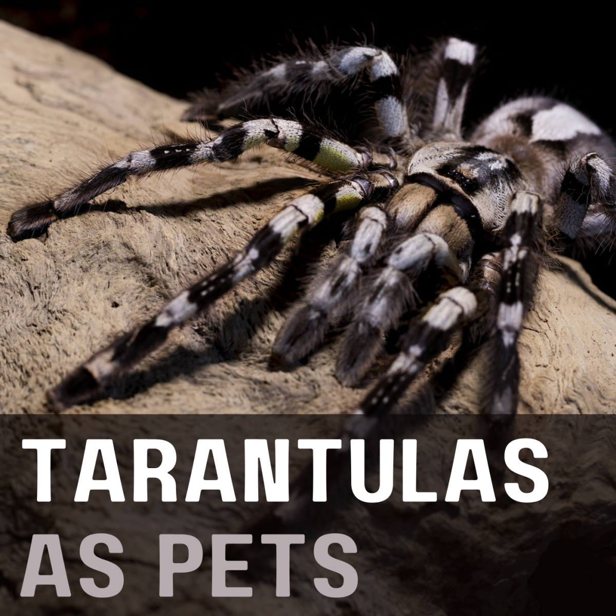 Learn about keeping tarantulas as pets, including why they're not true spiders.