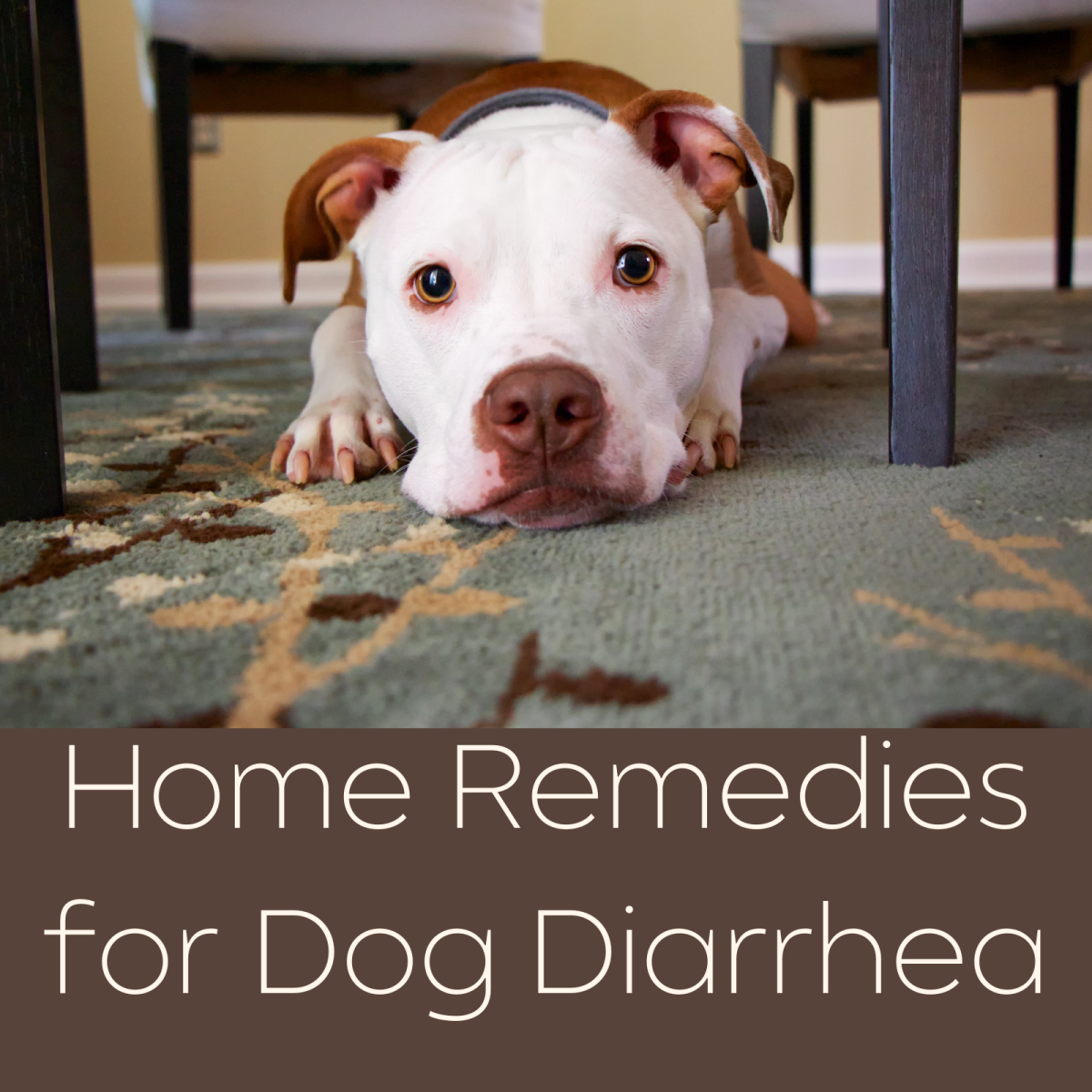 What to do at home if your dog has diarrhea.