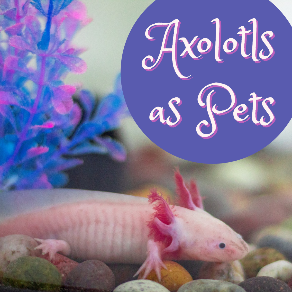 Get all the facts about keeping a pet axolotl. This photo shows an albino axolotl.