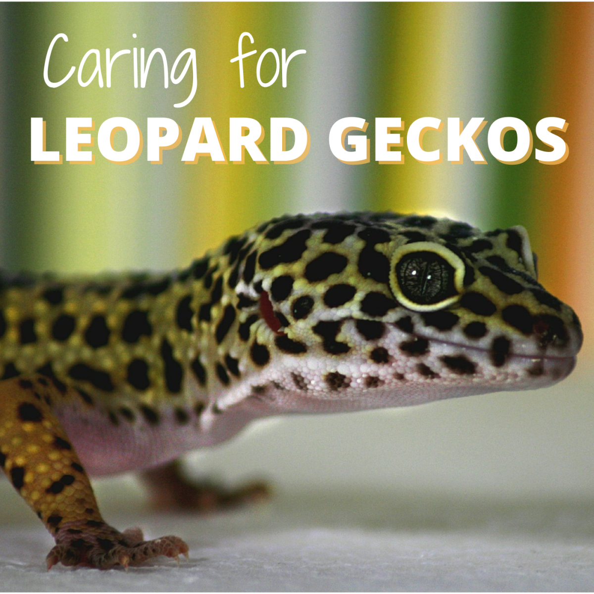 Learn how to house, feed, and handle a pet leopard gecko.