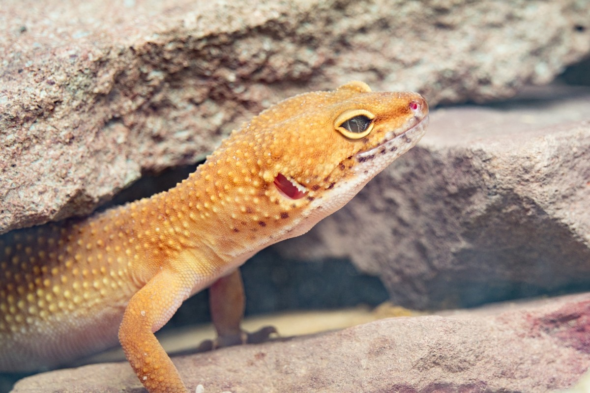 The natural habitat of leopard geckos is dry and rocky.