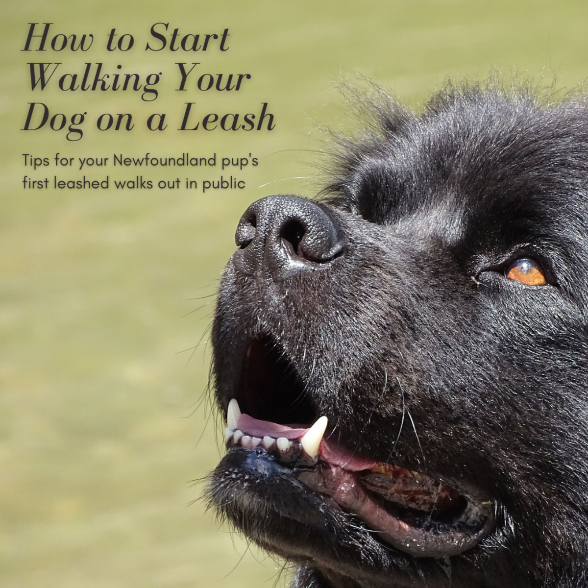 This article will provide you some guidance on how to best introduce your dog to leashed walks in public.