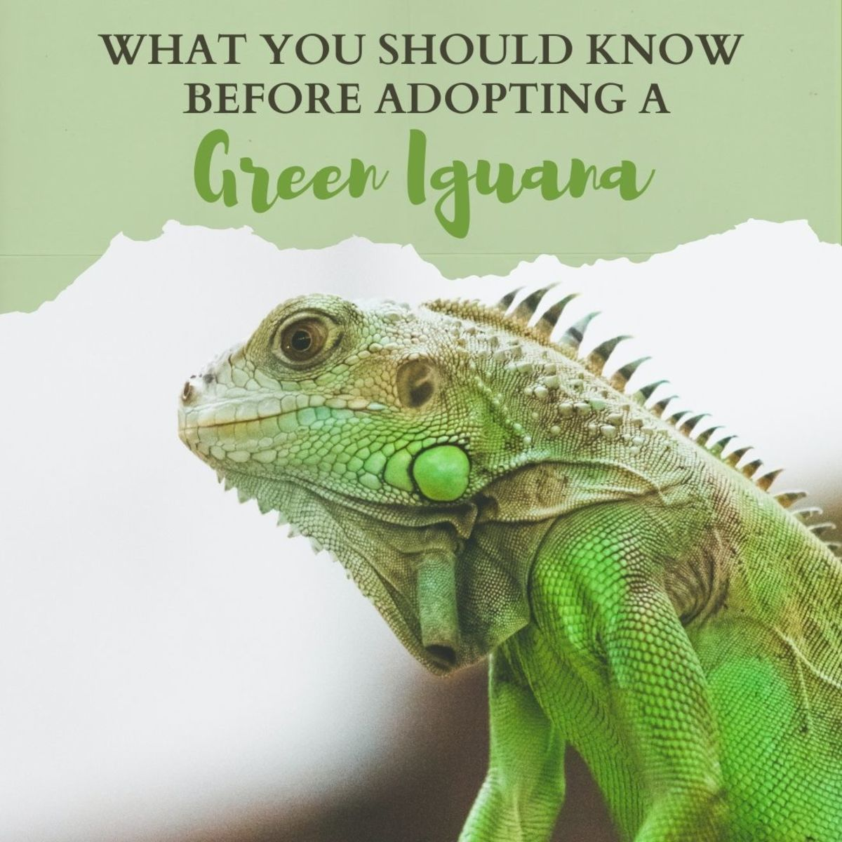 Things you should know about green iguanas before getting one as a pet