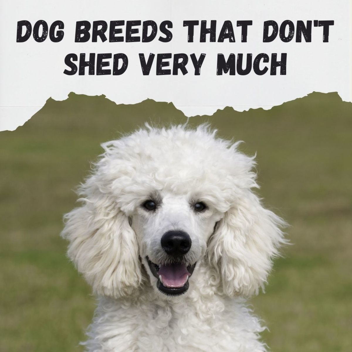 Tired of vacuuming up dog hair? Here are six large dog breeds that don't shed much.
