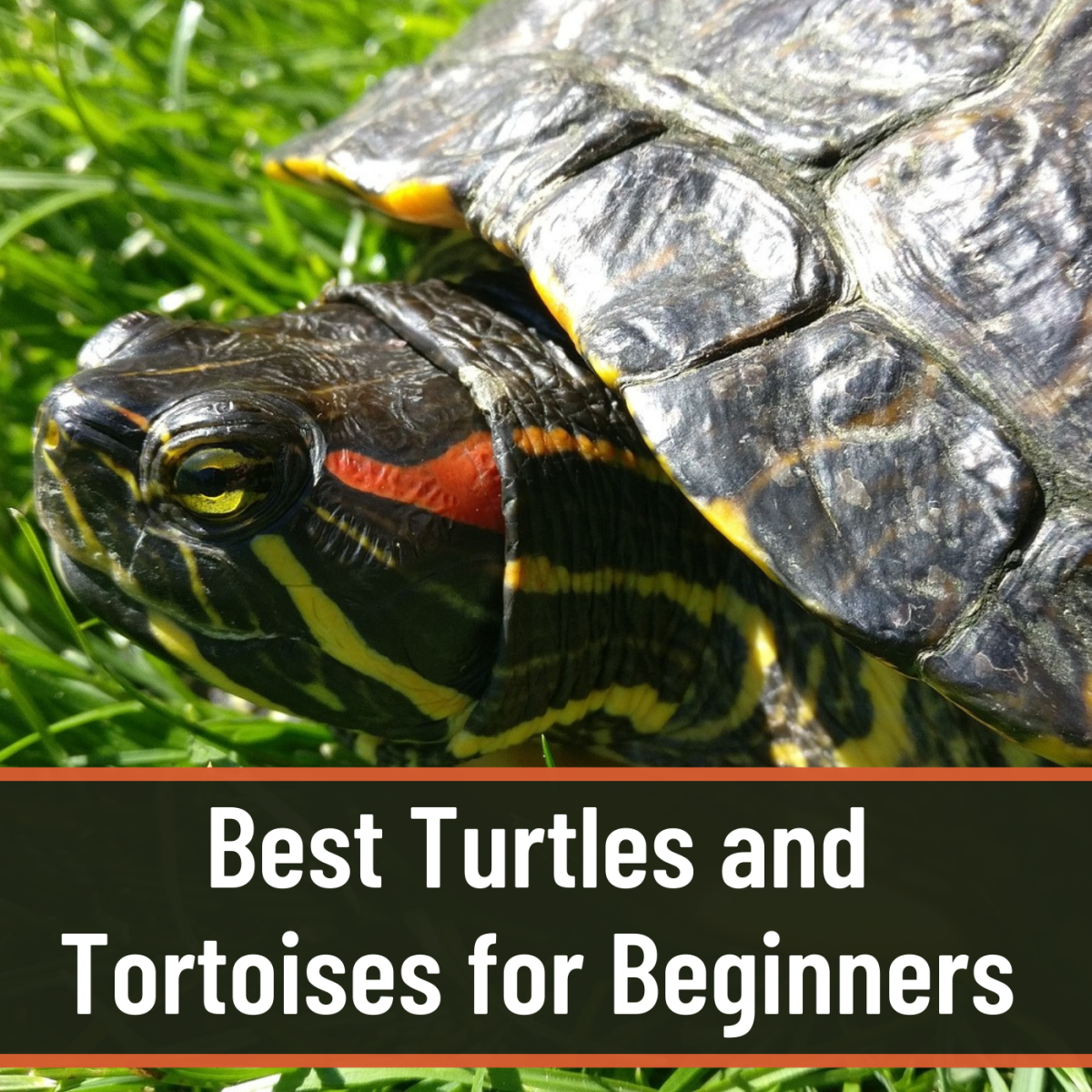 Best Beginner Pet Turtles and Tortoises