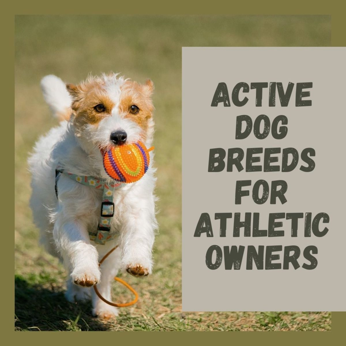 Jack Russell Terriers, Border Collies, and other active dogs for the athletic owner
