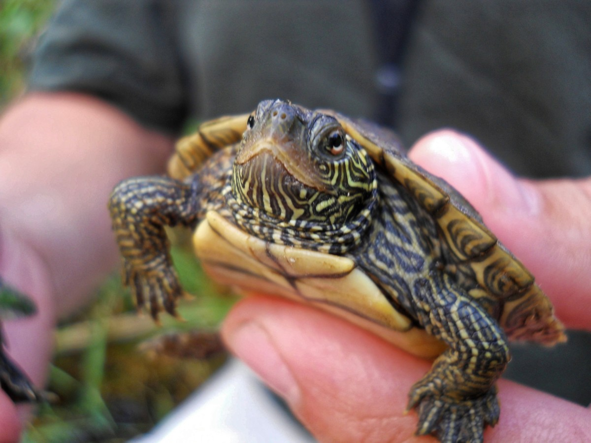 All turtles are not alike. Did you know that map turtles are carnivores as adults?
