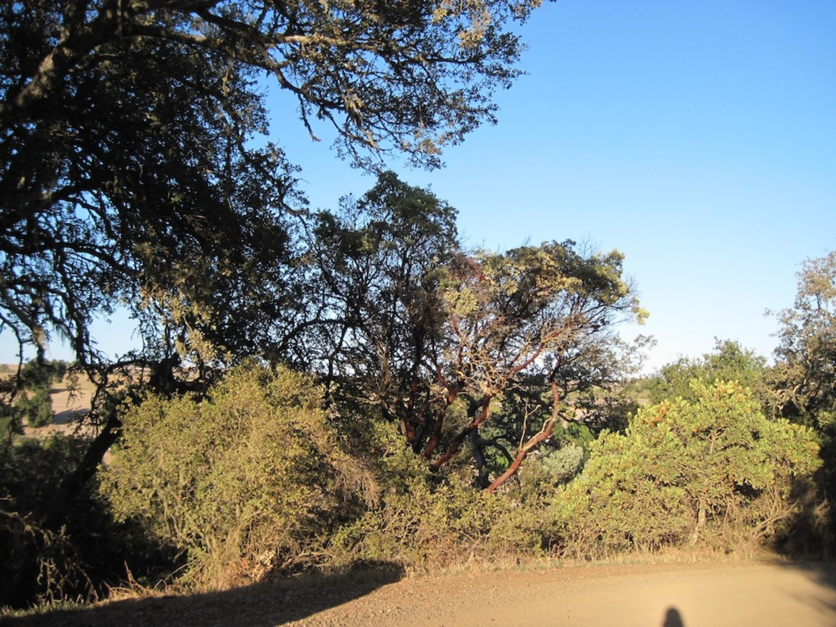 This picture features one of the manzanita shrubs to be seen occasionally among the predominantly oak trees.