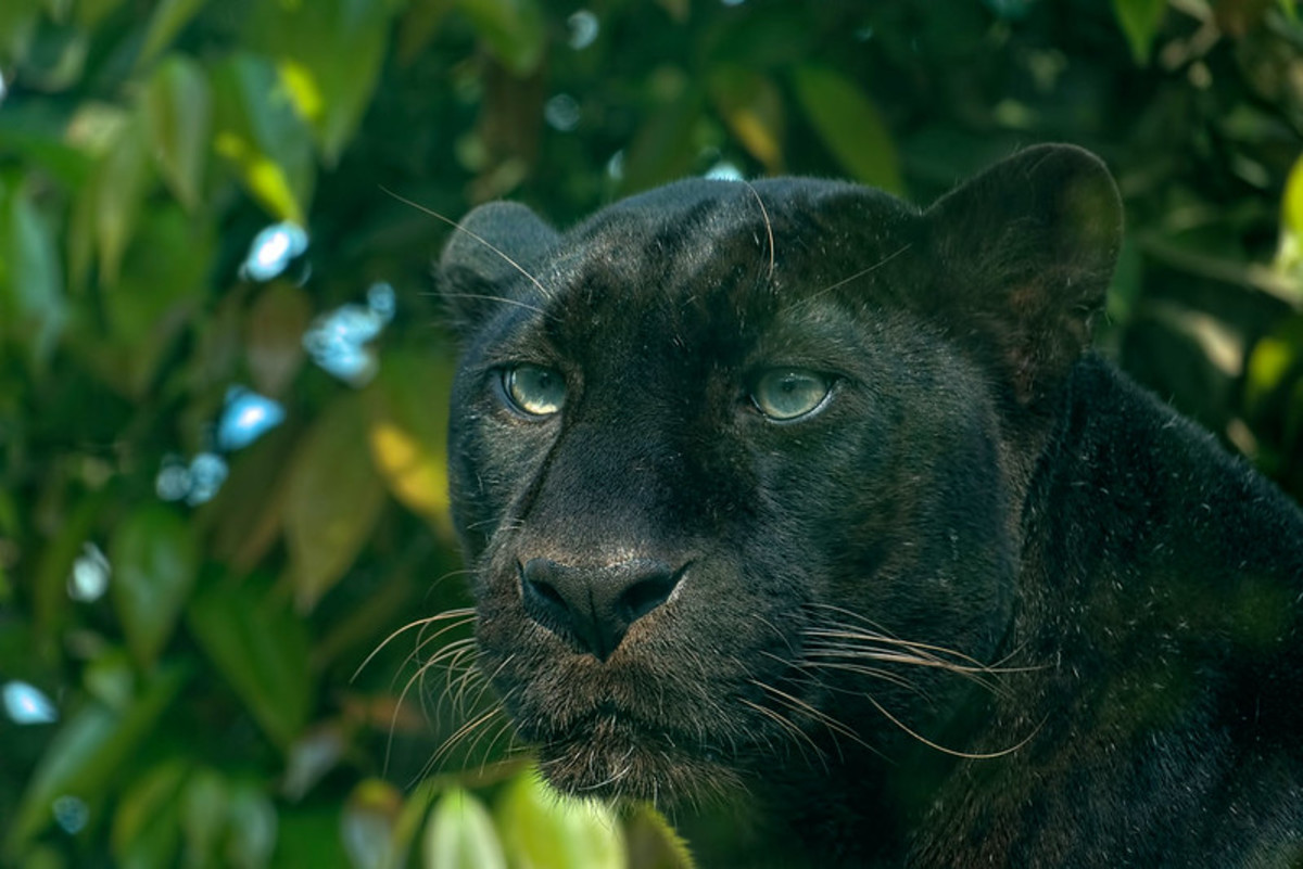 A real life version of Bagheera.