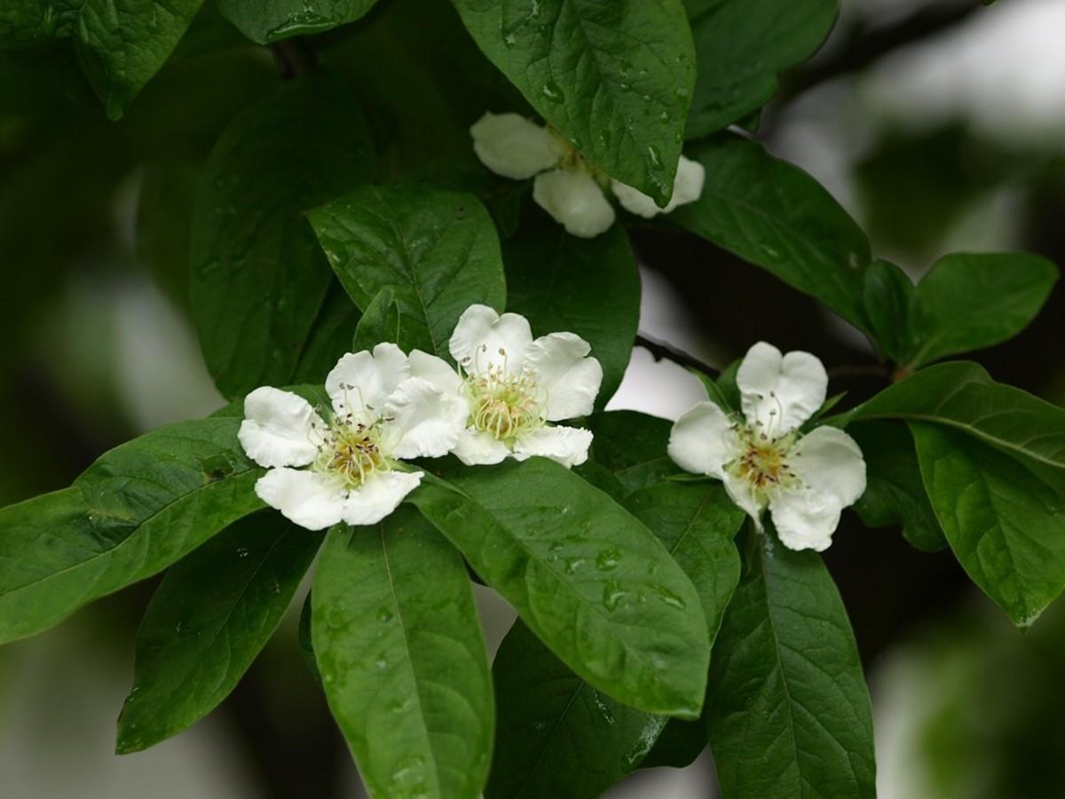 Medlar blossoms