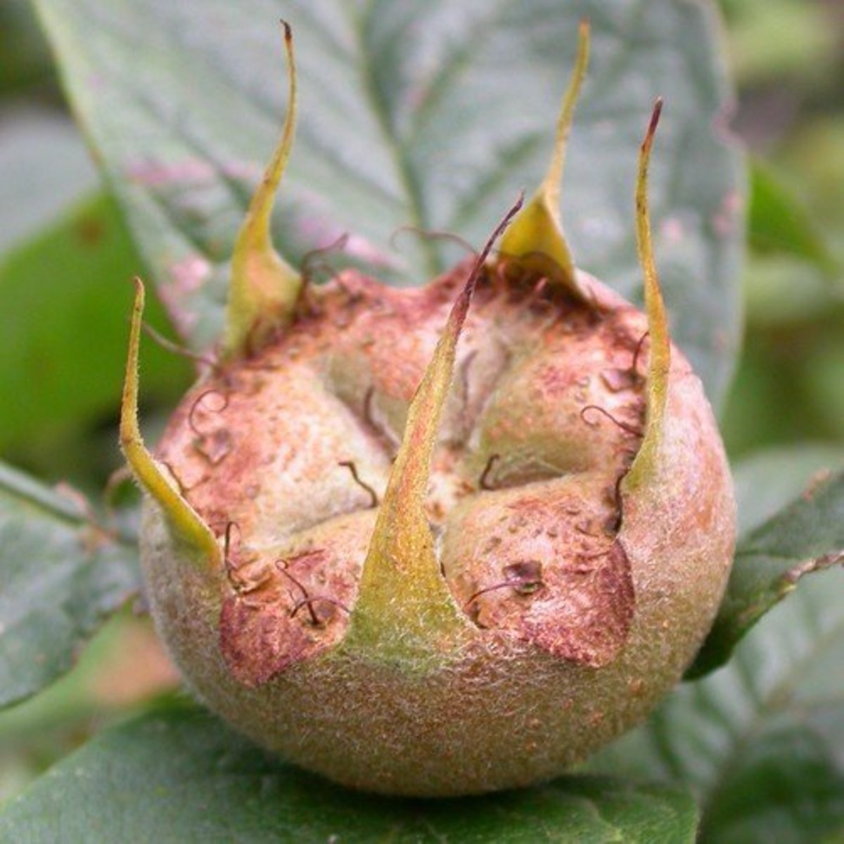 The medlar fruit displaying the characteristic that has led to its colloquial name.